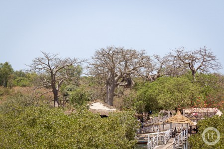 A view over the landscape of The Gambia, showing a couple of Baobab trees